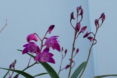 Dendrobium flowers and buds up close