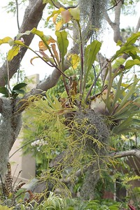 Epiphytes mounted in tree on Willow Avene