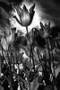 Tulips Under Moonlight