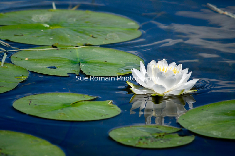 White Lily with Lilly Pads 2