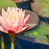 Single Peachy Water Lily