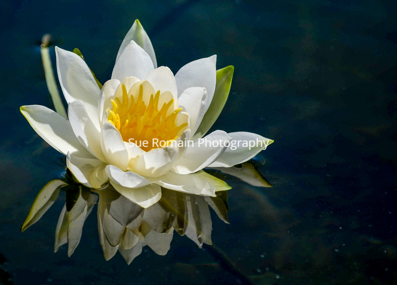 White Lily Reflections