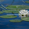 White Water Lily on Blue Water