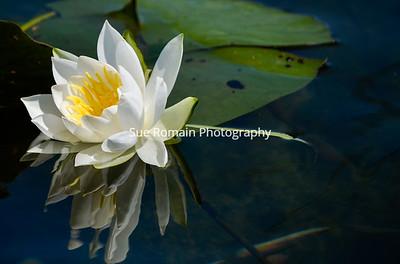 Beautiful White Water Lily