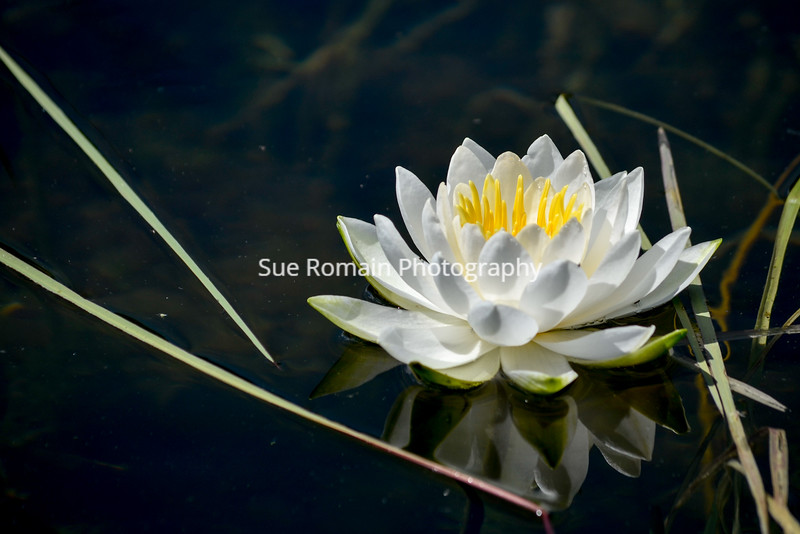 White Lily with Reeds 2