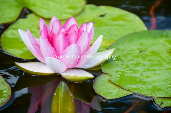 Pink Water Lily Beauty