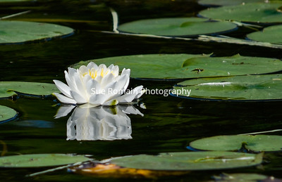 White Lily with Lilly Pads