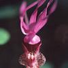 Megan's Orchid