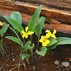 Upland Yellow Violet