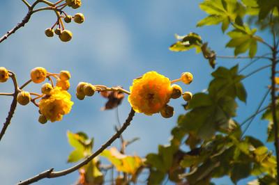 Buttercup Tree, Cochlospermaceae  Family, Cochlospermum Vitifolium Tree