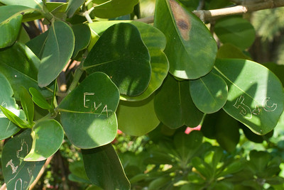Autograph Tree Named for its thick waxy leaves people write on  Sunset Beach, North Shore  Oahu, Hawaii
