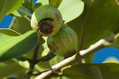 Autograph Tree seed pods