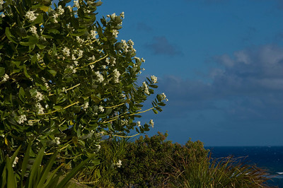 Crown flower tree Meaning: The Asclepias (milkweed) family  Taken near the Diamond Head Lighthouse  Monarch Butterflys lay their eggs and eat this tree