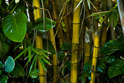Bamboo in the tropical rainforestManoa Honolulu, Hawaii