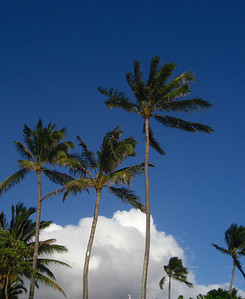 Coconut Palm trees against a blue sky with billowy white clouds