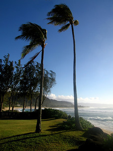 Coconut palm trees stand strong against sometimes forceful tradewinds  North Shore, O'ahu, Hawai'i