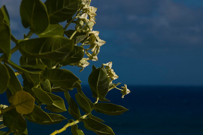Crown Flower  Taken at Diamond Head Bluff Park It's near the Diamond Head Lighthouse  Oahu's South Shore