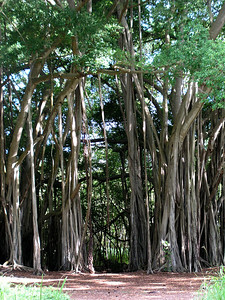 Banyon Trees at Kawela Bay