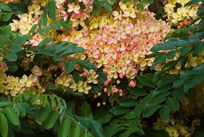 Rainbow Shower Tree ~   Cassia x nealiae