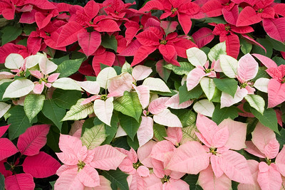 Poinsettia Plants in Pink, White, and Red.