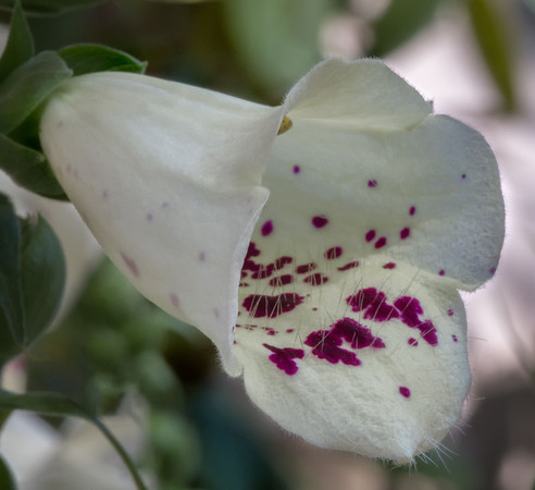 Single Foxglove Bloom