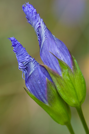 Macro image with shallow depth of field of two fringed gentian (closed).  These hard-to-find wildflowers bloom in the autumn months.  Their habitat is in meadows and wetlands.  The flowers open fully only on sunny days.