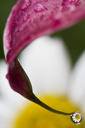 Macro image of daisy centered in water droplet at end of calla lily (following a heavy rain).