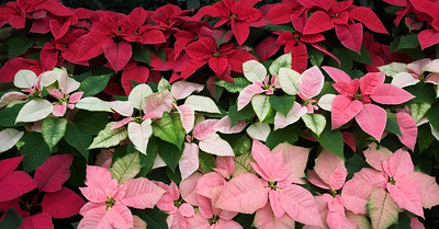 Panorama Image of Pink, White, and Red Poinsettia Plants