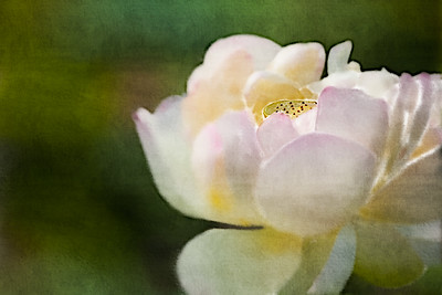 Lotus Blossom with Textured Background