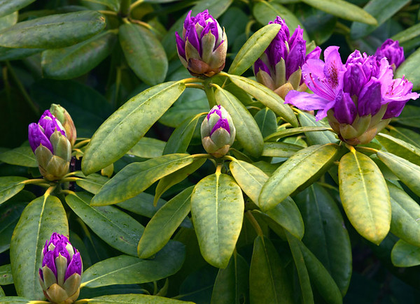 Budding Rhododendron