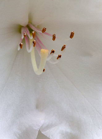 Rhododendron Closeup