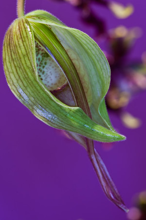 Close-up of Paphiopedilum Bud