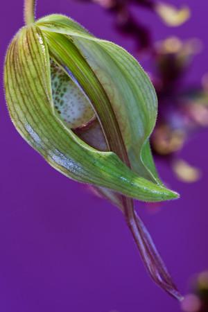 Close-up of Paphiopedilum Bud