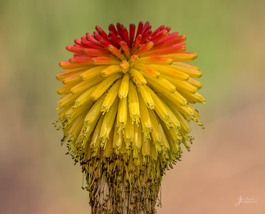 Hot Poker Flower South Africa Native