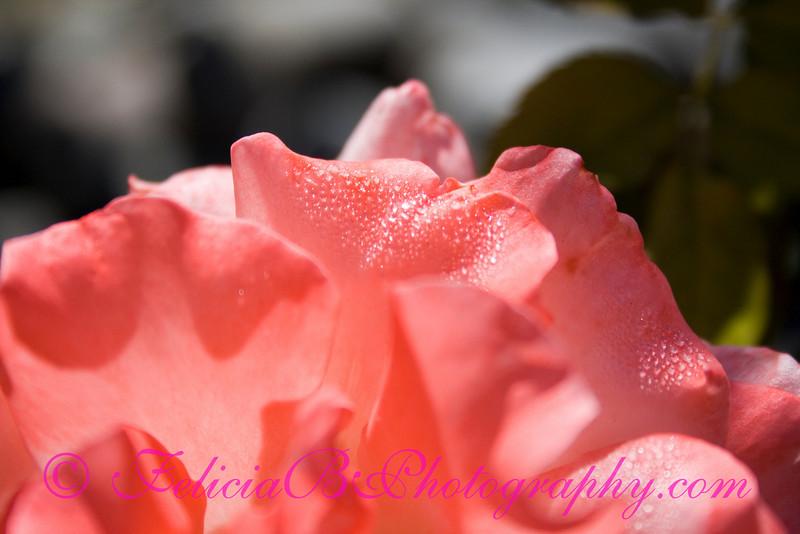 Dew on Rose