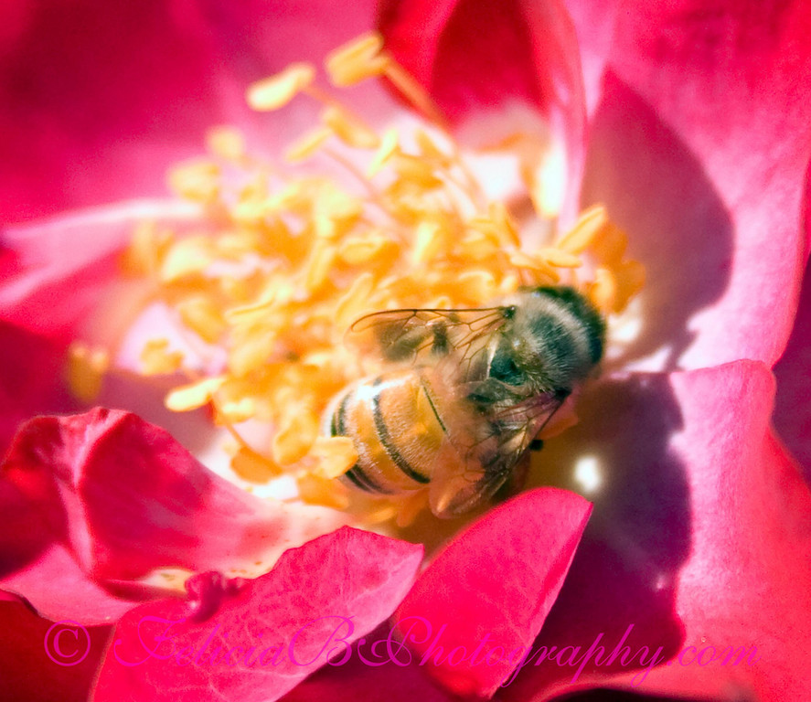 Bee on Rose