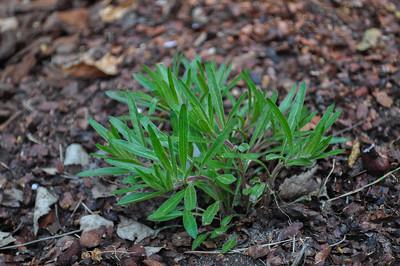 Oenothera 'Cold Crick'