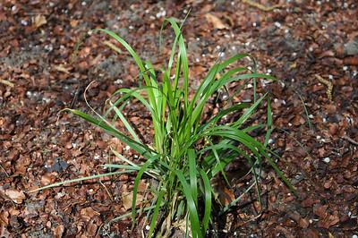 Calamagrostis brachytricha