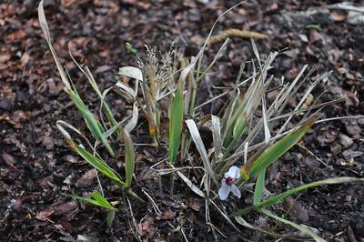 Eragrostis spectabilis 'Geat Plains'