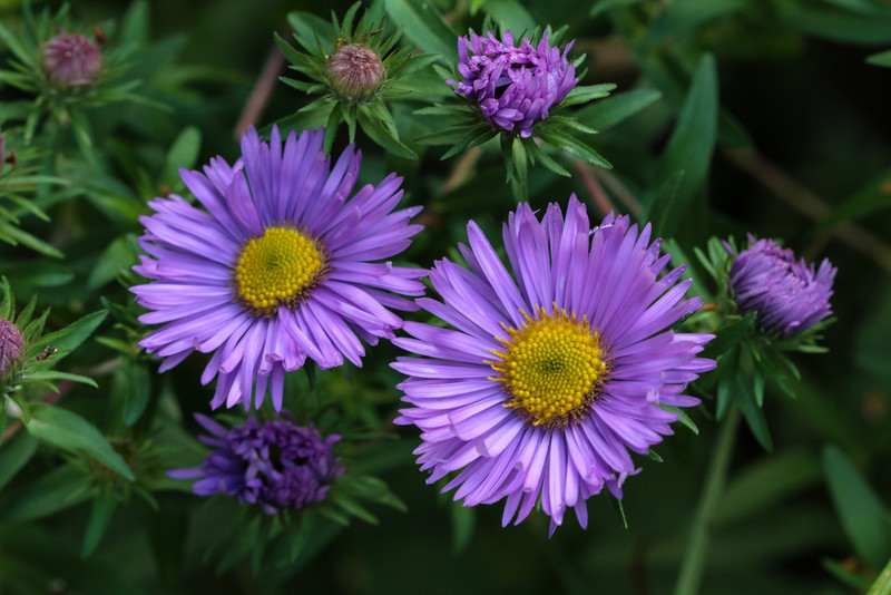 Aster 'Barrs blue'