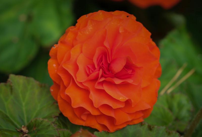 Begonia tuberosa Non-stop orange