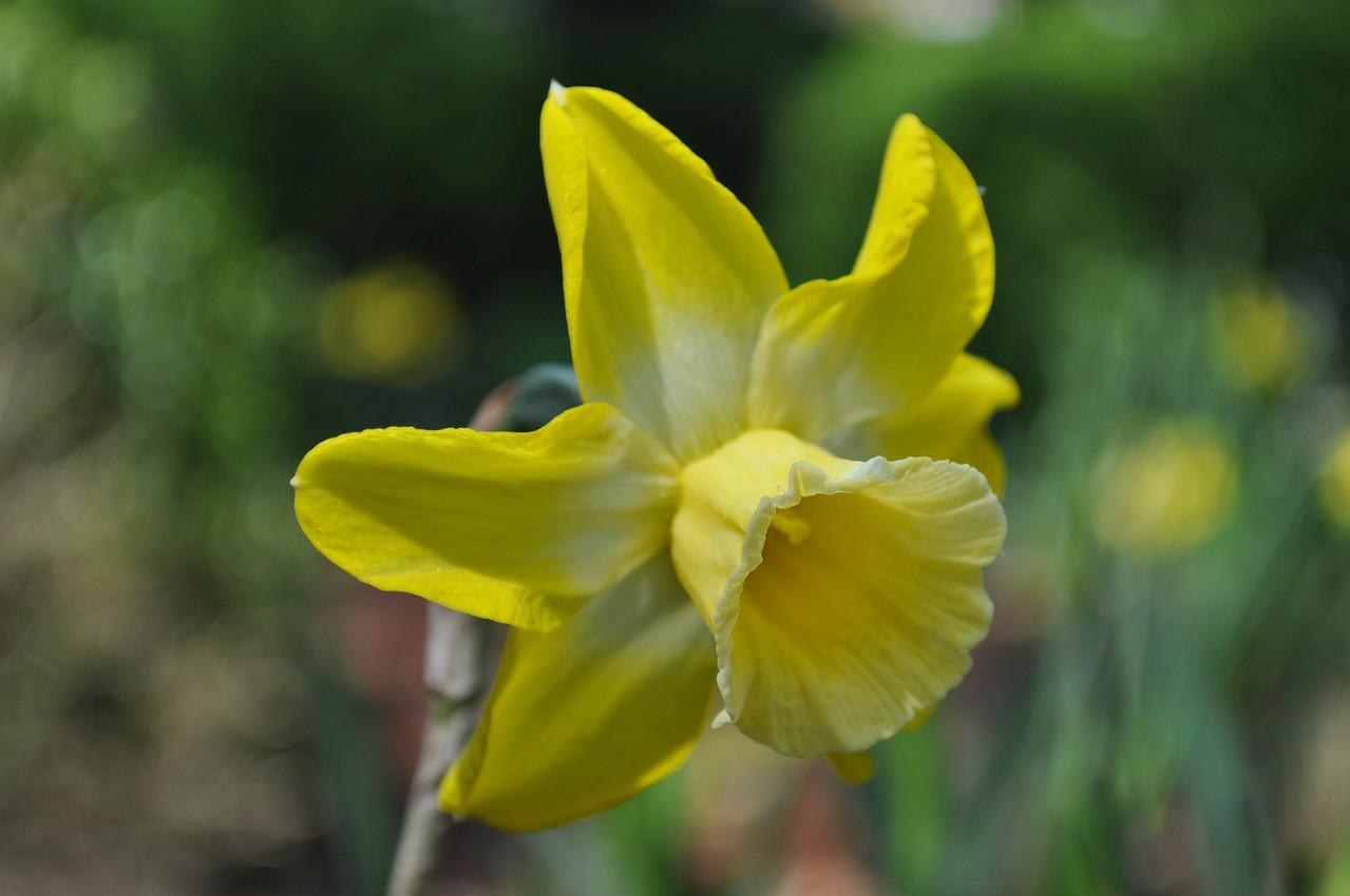 Narcis 'Hillstar'
