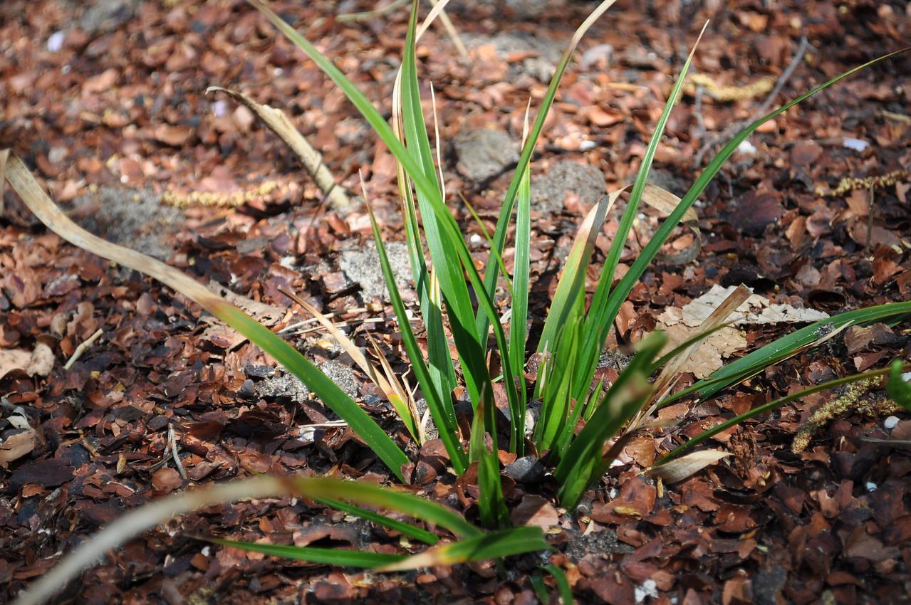 Carex morrowi 'Mosten'