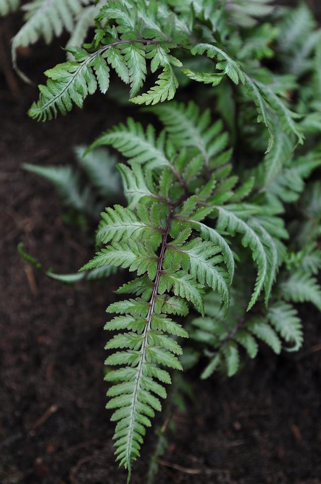 Athyrium niponicum 'Pictum' - Japanse regenboog varen
