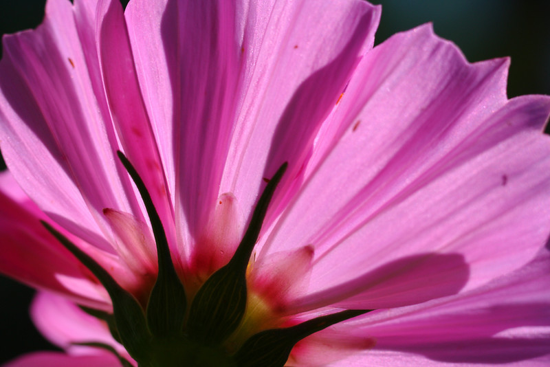 Backlit pink flower.