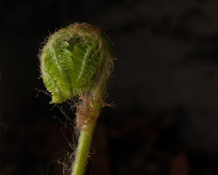 Cinnamon fern new growth.  CanonXSi with 18-55 is kit lens and 12mm Kenko extension tube.  Off camera flash.
