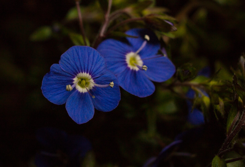 Blue flower with off-camera flash.  Canon XSi, 18-55 kit lens and 12mm Kenko extension tube.
