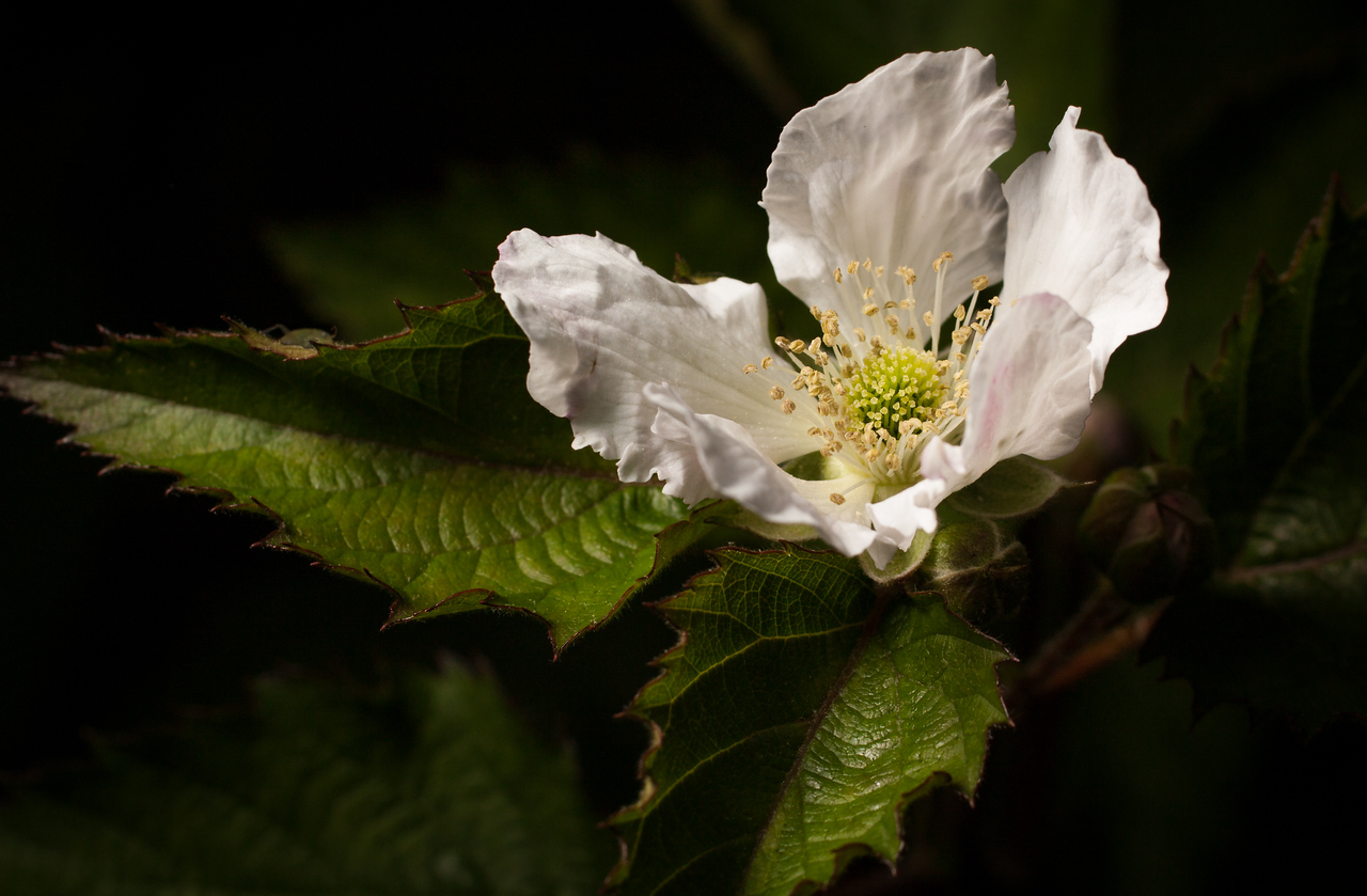 Blackberry flower taken with Canon XSi, Tamron 70-300 vc with 12mm Kenko extension tube and an off-camera flash.