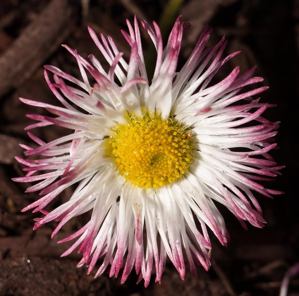 Habanera Daisy