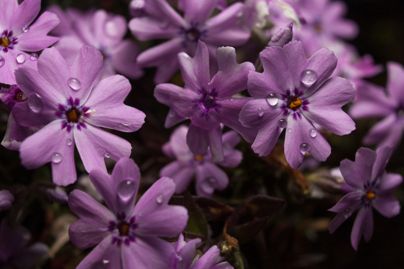 Phlox with off-camera flash.  Canon XSi, 18-55 kit lens and 12mm Kenko extension tube.
